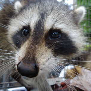 Animal Rangers Raccoon Trapping Services