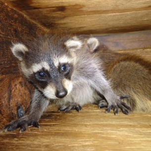 Broward County Raccoon Removal and Animal Control Services