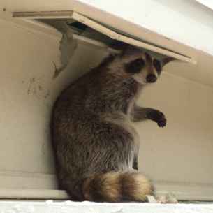 Animal Rangers Get Rid of Raccoons in the Attic
