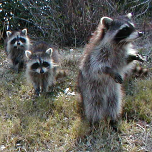 Animal Rangers Nuisance Raccoon Removal Service