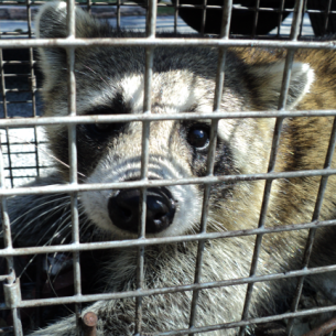 Animal Rangers Raccoon Control Service