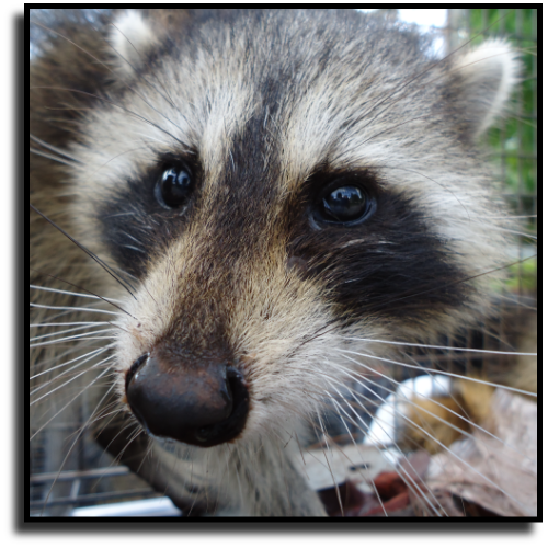 Florida Raccoon Removal