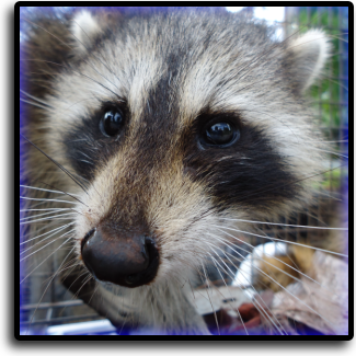 Raccoon control Miami Gardens, FL Animal Rangers Nuisance Wildlife Removal & Pest Control Services