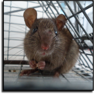 Pompano Beach, FL Rat Removal