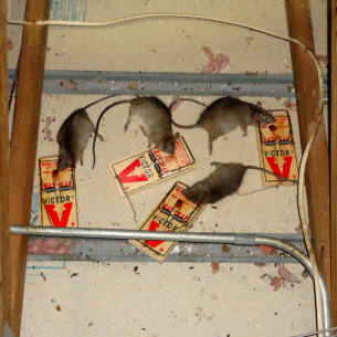 Get Rid of Rats in the Attic - Broward County