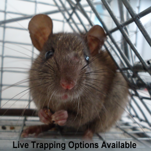 Broward County Humane Rat Removal Services