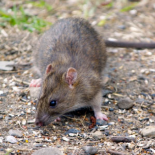 Broward County Rodent Control Services