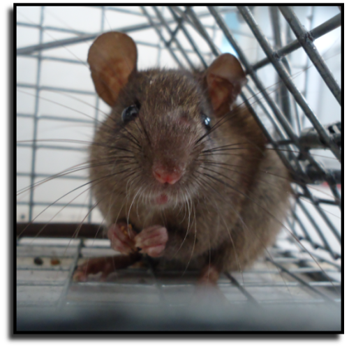 Sarasota County Rat Removal