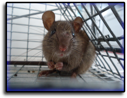 Rat Trapping Coconut Creek, FL Animal Rangers Nuisance Wildlife Removal & Pest Control Services