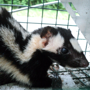 Animal Rangers Skunk Removal Services