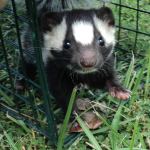 Martin County, FL Skunk Removal and Animal Control