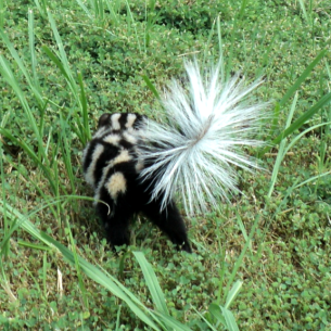 Skunk Removal Services in Martin County, FL