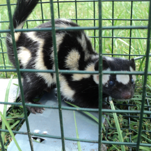Animal Rangers Skunk Trapping and Removal Services