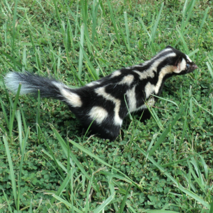 Animal Rangers Spotted Skunk Removal
