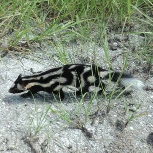 Get Rid of Skunks - Martin County, FL Animal Control