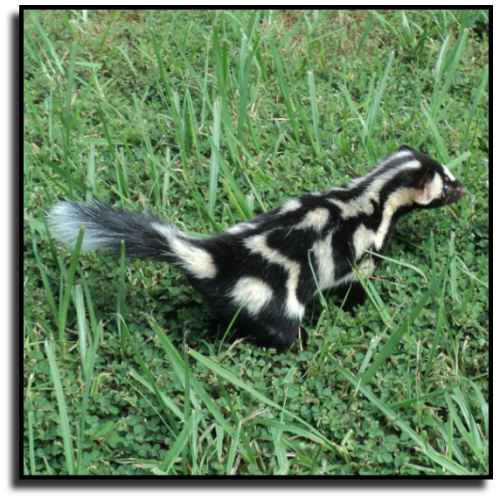 Palm Beach County, FL Skunk Removal Service