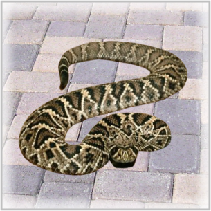 Animal Rangers Venomous Snake Removal Services