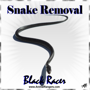 Animal Rangers Black Snake Removal