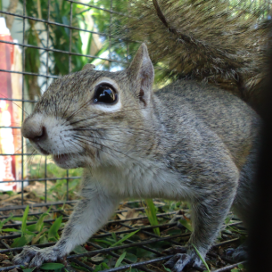Broward County, FL Humane Squirrel Trapping Services