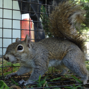Broward County, FL Squirrel Control Services