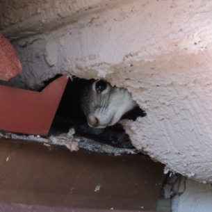 Get Rid of Squirrels in the Attic - Broward County, FL Animal Control