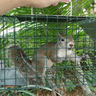 Broward County, FL Squirrel Removal Services