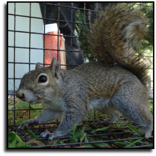 Wellington, FL Squirrel Removal Service
