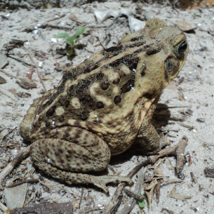 Miami Dade County Fl Toad Removal Amp Wildlife Control Services