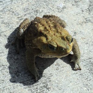 Hallandale Beach, FL Cane Toad Control Services