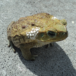Broward County Fl Toad Removal Amp Wildlife Control Cane