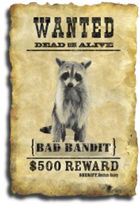 Sarasota County, FL Raccoon Removal Services