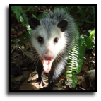 Florida - Opossum Trapping Service