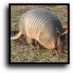 Plantation, FL Armadillo Removal