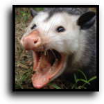 Lakewood Ranch, FL Opossum Removal