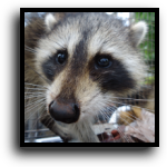 Plantation, FL Raccoon Removal