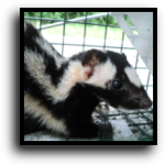 Plantation, FL Skunk Removal