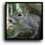 Plantation, FL Squirrel Removal