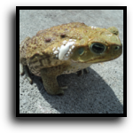 Greenacres, FL Toad Removal