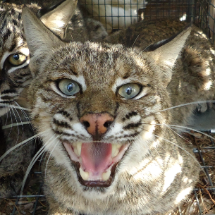 Bobcat Removal Amp Nuisance Wildlife Trappers Martin